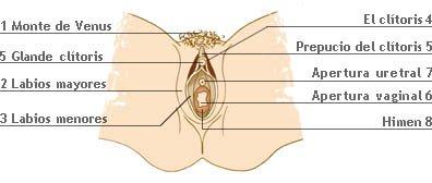 Partes del órgano sexual femenino
